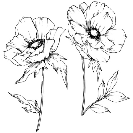 Vector Anemone floral botanical flowers. Wild spring leaf wildflower isolated. Black and white engraved ink art. Isolated anemone illustration element on white background. Archivio Fotografico - 123079359