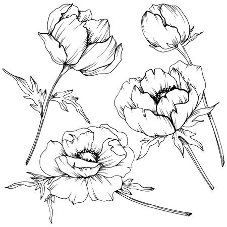 Vector Anemone floral botanical flowers. Wild spring leaf wildflower isolated. Black and white engraved ink art. Isolated anemone illustration element on white background. Vektorgrafik