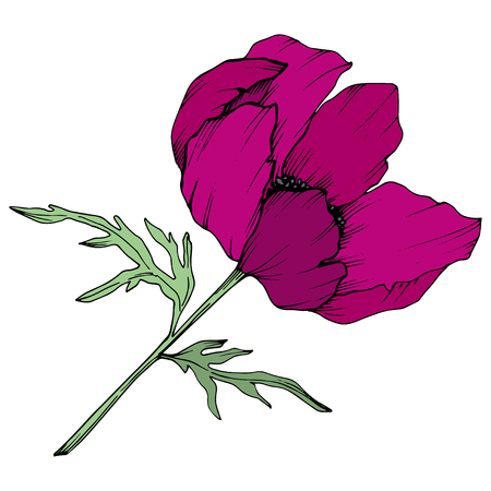 Vector Marsala Anemone floral botanical flowers. Wild spring leaf wildflower isolated. Black and white engraved ink art. Isolated anemone illustration element on white background.  イラスト・ベクター素材