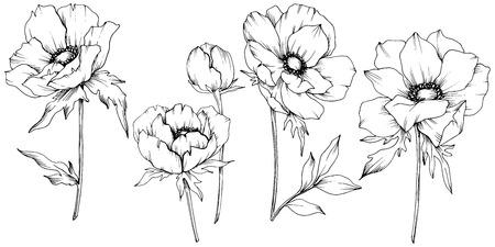 Vektor-Anemone botanische Blumen mit Blumen. Wilde Frühlingsblatt Wildblume isoliert. Schwarz-weiß gravierte Tinte Art.-Nr. Isoliertes Anemone-Illustrationselement auf weißem Hintergrund.