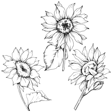 Vector Sunflower floral botanical flowers. Wild spring leaf wildflower isolated. Black and white engraved ink art. Isolated sunflower illustration element.  イラスト・ベクター素材
