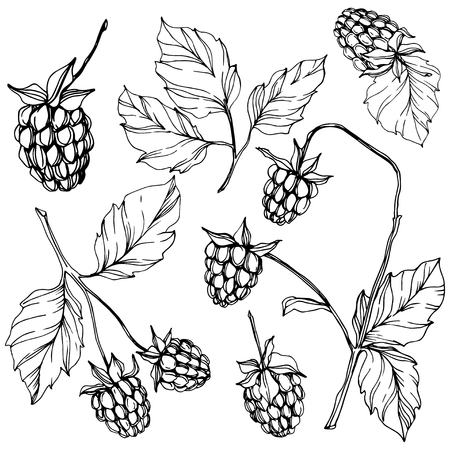 Vector Raspberry healthy food isolated. Black and white engraved ink art. Isolated berries illustration element on white background. 스톡 콘텐츠 - 122794035