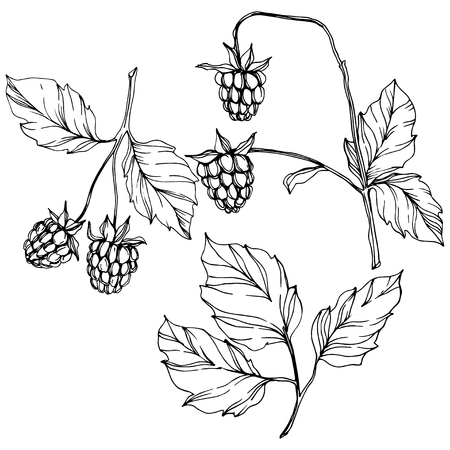 Vector Raspberry healthy food isolated. Black and white engraved ink art. Isolated berries illustration element on white background. Ilustracja