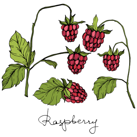 Vector Raspberry healthy food isolated. Red and green engraved ink art. Isolated berries illustration element on white background. 일러스트