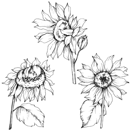Vector Sunflower floral botanical flowers. Wild spring leaf wildflower isolated. Black and white engraved ink art. Isolated sunflower illustration element. Stock Illustratie