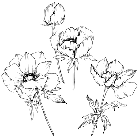 Vector Anemone floral botanical flowers. Wild spring leaf wildflower isolated. Black and white engraved ink art. Isolated anemone illustration element on white background. Vector Illustratie