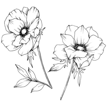 Vector Anemone floral botanical flowers. Wild spring leaf wildflower isolated. Black and white engraved ink art. Isolated anemone illustration element on white background. Vektoros illusztráció