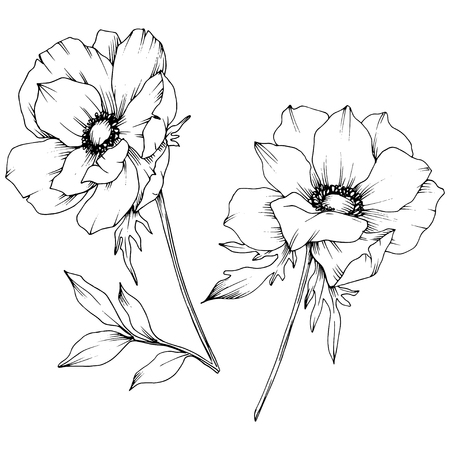 Vektor-Anemone botanische Blumen mit Blumen. Wilde Frühlingsblatt Wildblume isoliert. Schwarz-weiß gravierte Tinte Art.-Nr. Isoliertes Anemone-Illustrationselement auf weißem Hintergrund. Vektorgrafik