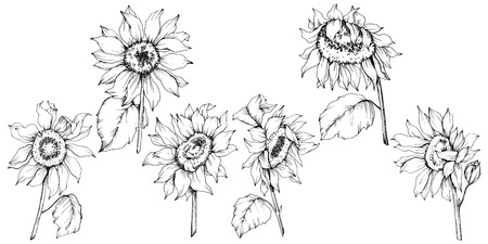 Vector Sunflower floral botanical flowers. Wild spring leaf wildflower isolated. Black and white engraved ink art. Isolated sunflower illustration element. 일러스트