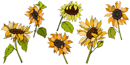 Vector Sunflower floral botanical flowers. Wild spring leaf wildflower isolated. Yellow and green engraved ink art. Isolated sunflower illustration element. Vectores