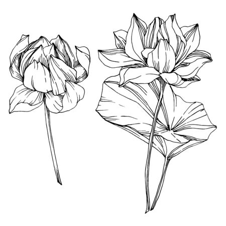 Vector Lotus floral botanical flowers. Black and white engraved ink art. Isolated lotus illustration element. Illusztráció