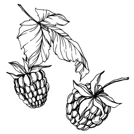 Vector Raspberry healthy food fresh berry isolated element. Black and white engraved ink art. Ilustracja