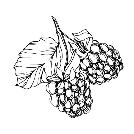 Vector Blackberry healthy food. Black and white engraved ink art. Isolated berry illustration element.