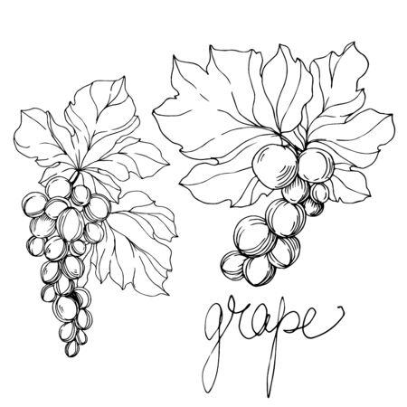 Wektor winogron jagody zdrowej żywności. Czarno-biała grawerowana sztuka tuszu. Element ilustracji na białym tle winogron.