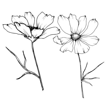 Vector Cosmos floral botanical flowers. Wild spring leaf wildflower isolated element. Black and white engraved ink art. Isolated cosmea illustration element. Foto de archivo - 132005726