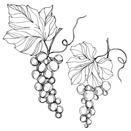 Vector Grape berry healthy food. Black and white engraved ink art. Isolated grape illustration element. Stock Illustratie