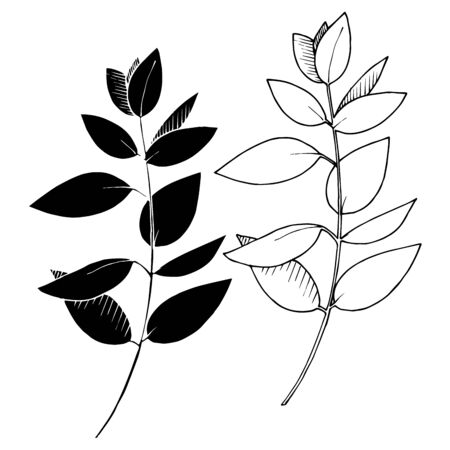 Vector Eucalyptus leaves branch. Exotic tropical hawaiian summer. Leaf plant botanical floral foliage. Black and white engraved ink art. Isolated branches illustration element.