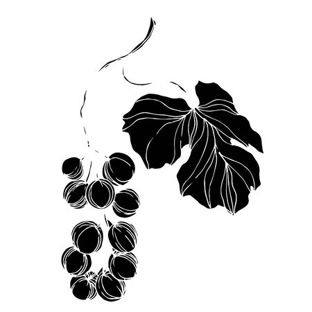 Vector Grape berry healthy food. Black and white engraved ink art. Isolated grapes illustration element.