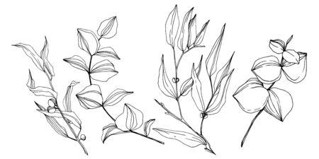 Vector Eucalyptus tree leaves. Black and white engraved ink art. Isolated eucalyptus illustration element.
