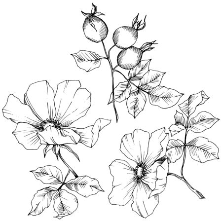 Wildflower rosa canina in a vector style isolated. Black and white engraved ink art. 向量圖像