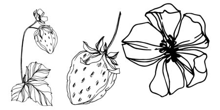 Vector strawberry fresh berry healthy food. Black and white engraved ink art. Isolated strawberry illustration element.