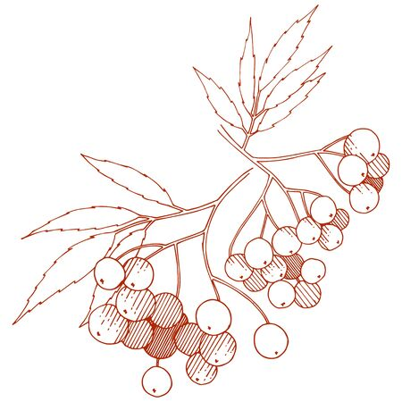 Vector autumn red sorbus plant. Berry plant botanical garden floral foliage. Isolated illustration element.