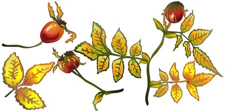 Vector autumn yellow rose hip leaves and plant.