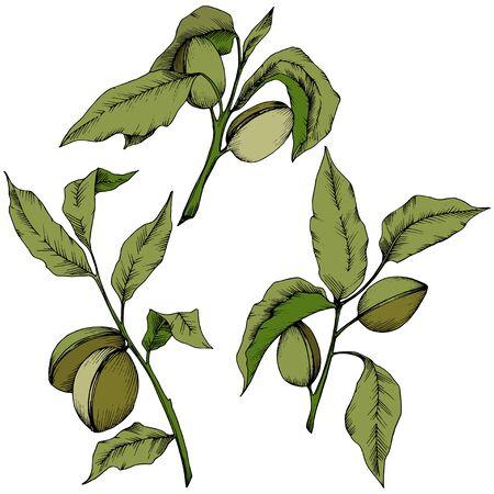 Grüne Mandel in einem Vektorstil isoliert.