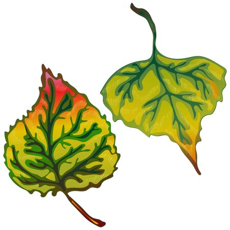 Vector autumn leaves of poplar. Isolated illustration element.