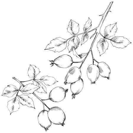 Vektor Herbst Hagebutte Pflanze. Pflanzen Sie das Blumenlaub des botanischen Gartens. Isoliertes Abbildungselement. Vektorblatt für Hintergrund, Textur, Wrapper-Muster, Rahmen oder Rand.