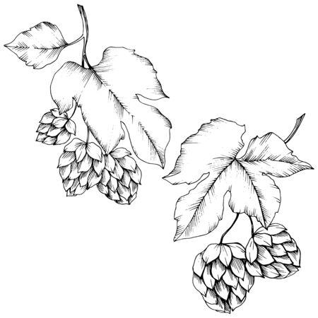 Vector. Black and white engraved humulus ink art. Isolated humulus illus