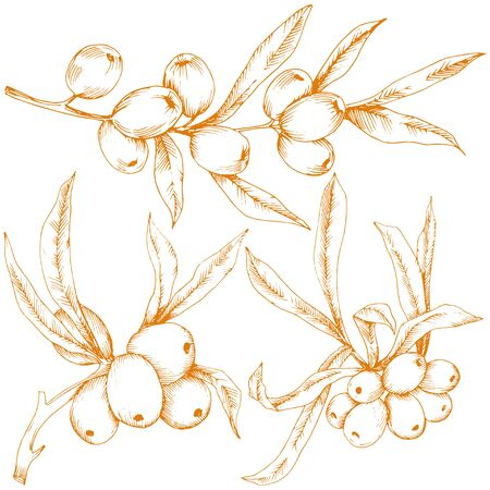 Orange hippophae plant. Vector icon on white background. Vecteurs