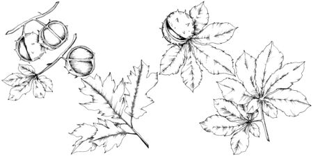 Vector autumn chestnut plant and leaves. Leaf plant botanical garden floral foliage. 矢量图像