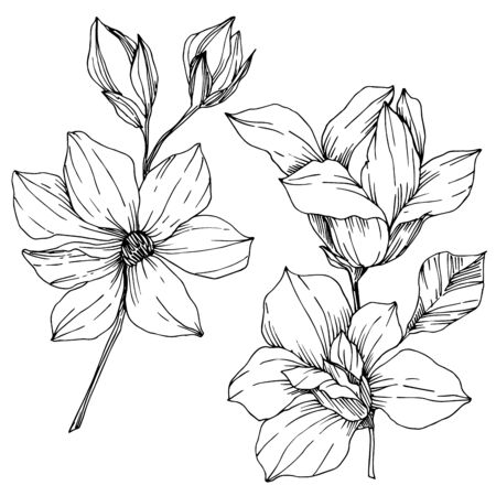 Vector Magnolia floral botanical flowers. Black and white engraved ink art. Isolated magnolia illustration element.