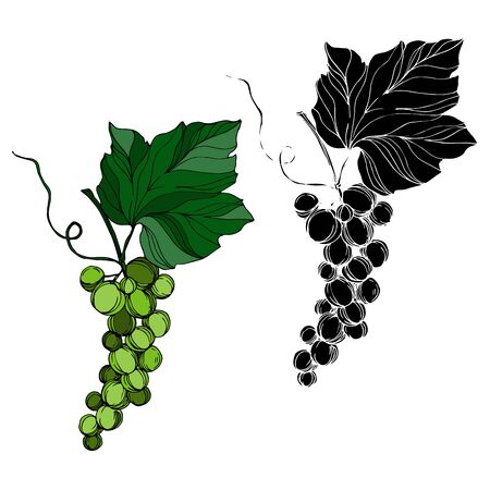 Vector Grape berry healthy food. Black and white engraved ink art. Isolated grape illustration element.