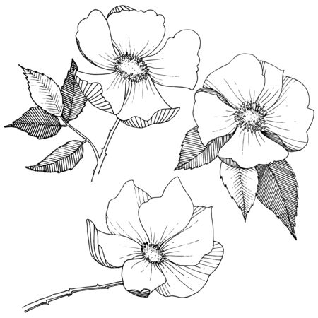 Wild hulthemia rose in a vector style isolated.