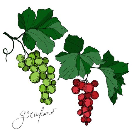 Vector Grape berry healthy food. Black and white engraved ink art. Isolated grape illustration element. Illusztráció