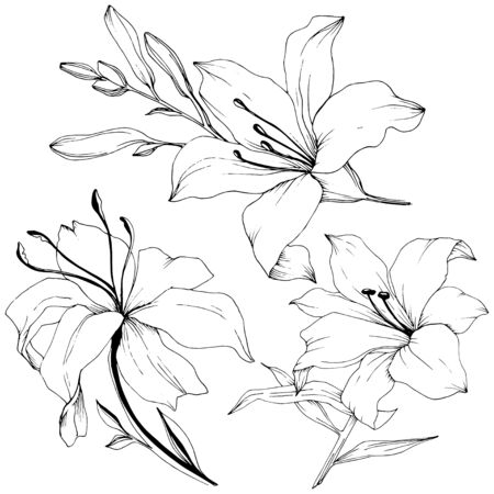 Wildflower lilies in a vector style isolated. Black and white engraved ink art. Vector Illustration