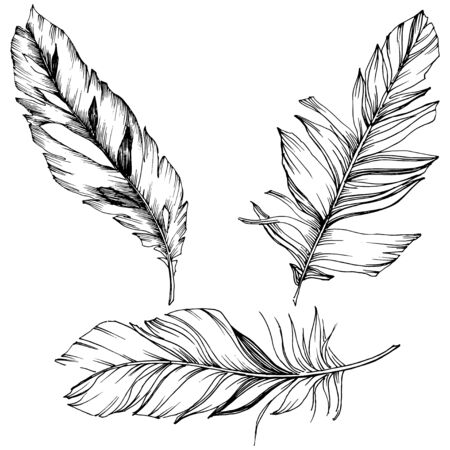 Vector bird feather from wing isolated. Isolated illustration element. Black and white engraved ink art. Vetores