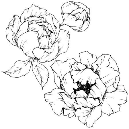 Peonía de flores silvestres en un estilo vectorial aislado. Arte de tinta grabada en blanco y negro.