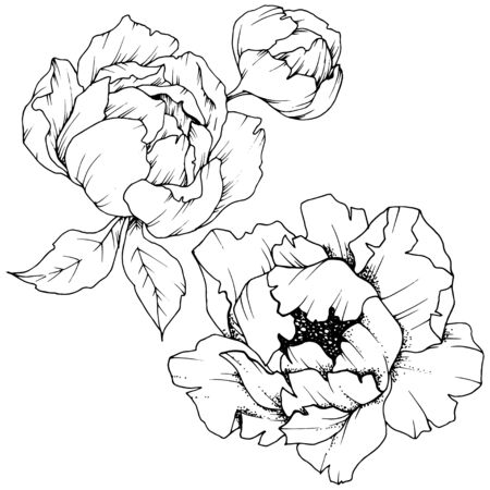 Wildflower peony in a vector style isolated. Black and white engraved ink art.