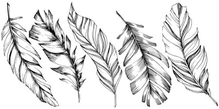 Vector bird feather from wing isolated. Isolated illustration element. Vector feather for background, texture, wrapper pattern, frame or border. Black and white engraved ink art. 向量圖像