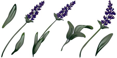 Lavender flower in a vector style isolated. Vector flower for background, texture, wrapper pattern, frame or border. Engraved ink art.