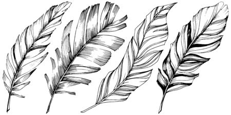 Vector bird feather from wing isolated. Isolated illustration element. Black and white engraved ink art. 向量圖像