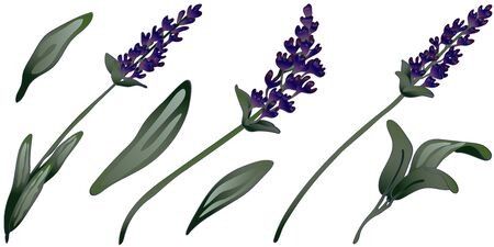 Lavender flower in a vector style isolated. Engraved ink art. Stock fotó - 134329208