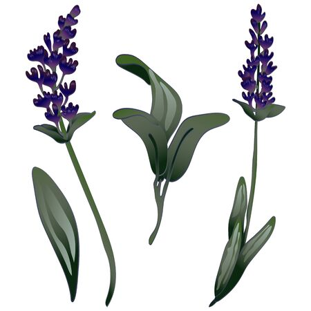Lavender flower in a vector style isolated. Engraved ink art. Stock fotó - 134329210