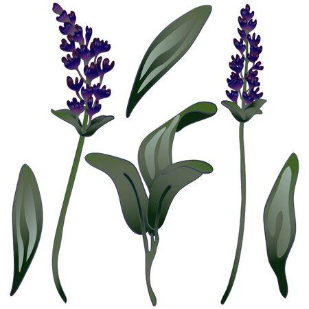 Lavender flower in a vector style isolated. Engraved ink art. Illusztráció