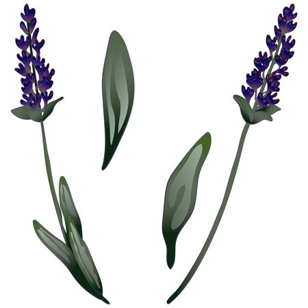 Lavender flower in a vector style isolated. Engraved ink art. Stock fotó - 134329232