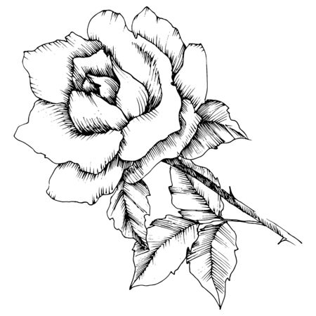 Rose flower in a vector style. Isolated illustration element. Black and white engraved ink art.