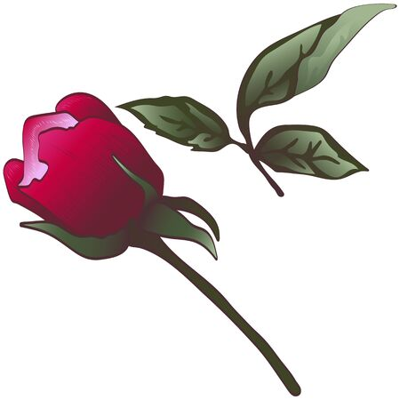 Wildflower red rose flower in a vector style isolated.